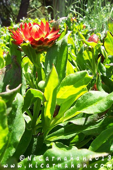 NiCarnahan-RedMohaveFireStrawflower05282013